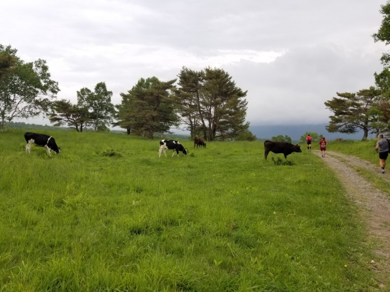 Cows eating grass in Nagano