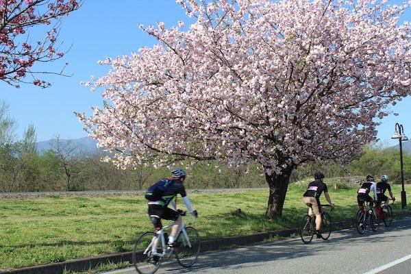 Cycling springtime in Japan sakura