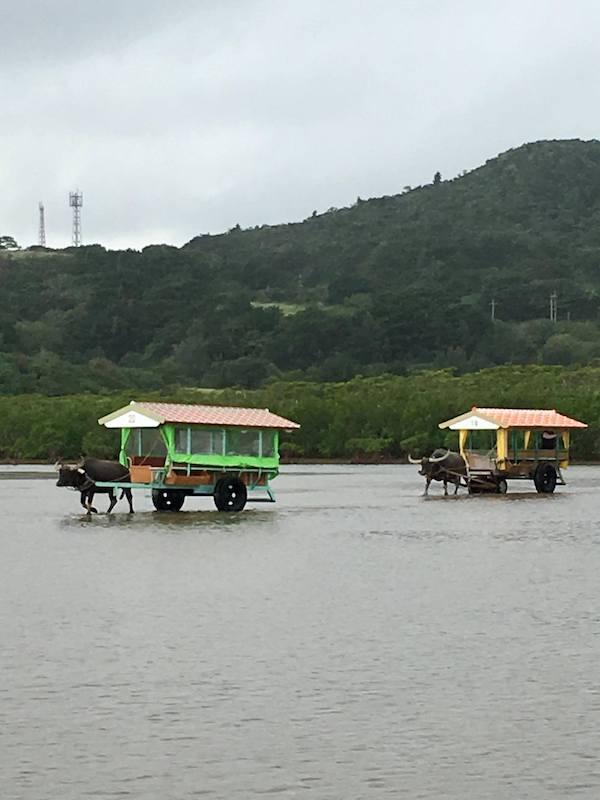 Buffalo-drawn carts in Ishigaki