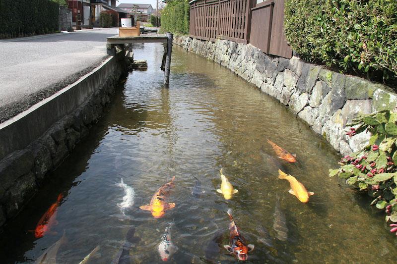 carp swimming in Hagi