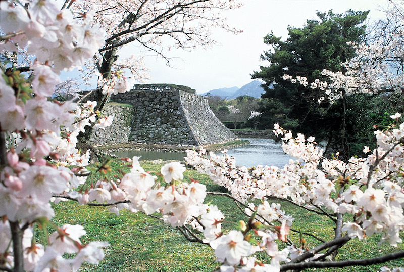 cherry blossoms in hagi castle town