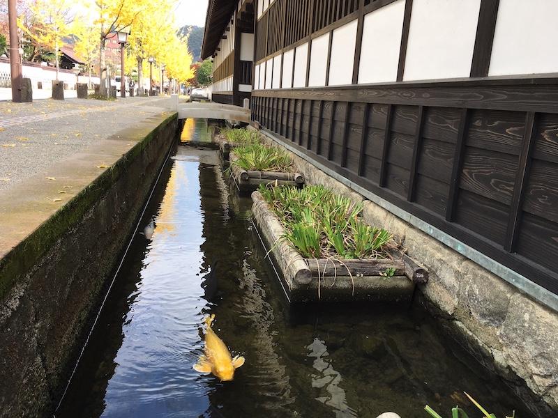 carp swimming on Tonomachi street